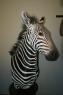 Pedestal Mountain Zebra